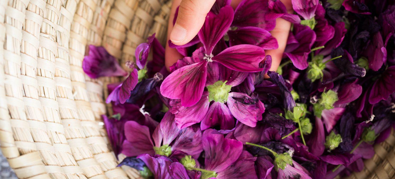 Malve Blüten Blätter Husten Sodbrennen