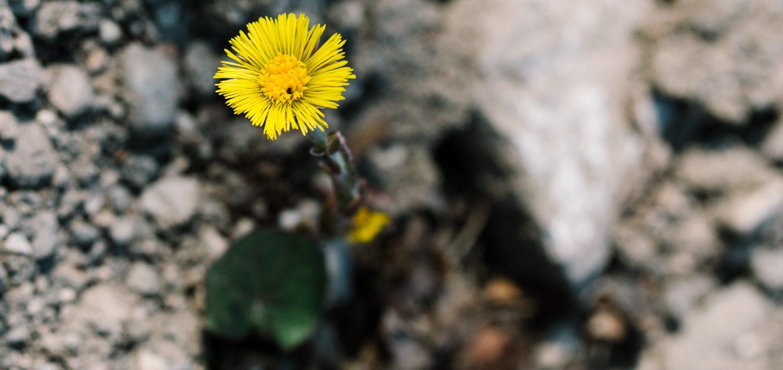 Huflattich Pyrrolizidinalkaloide Heilpflanze Husten