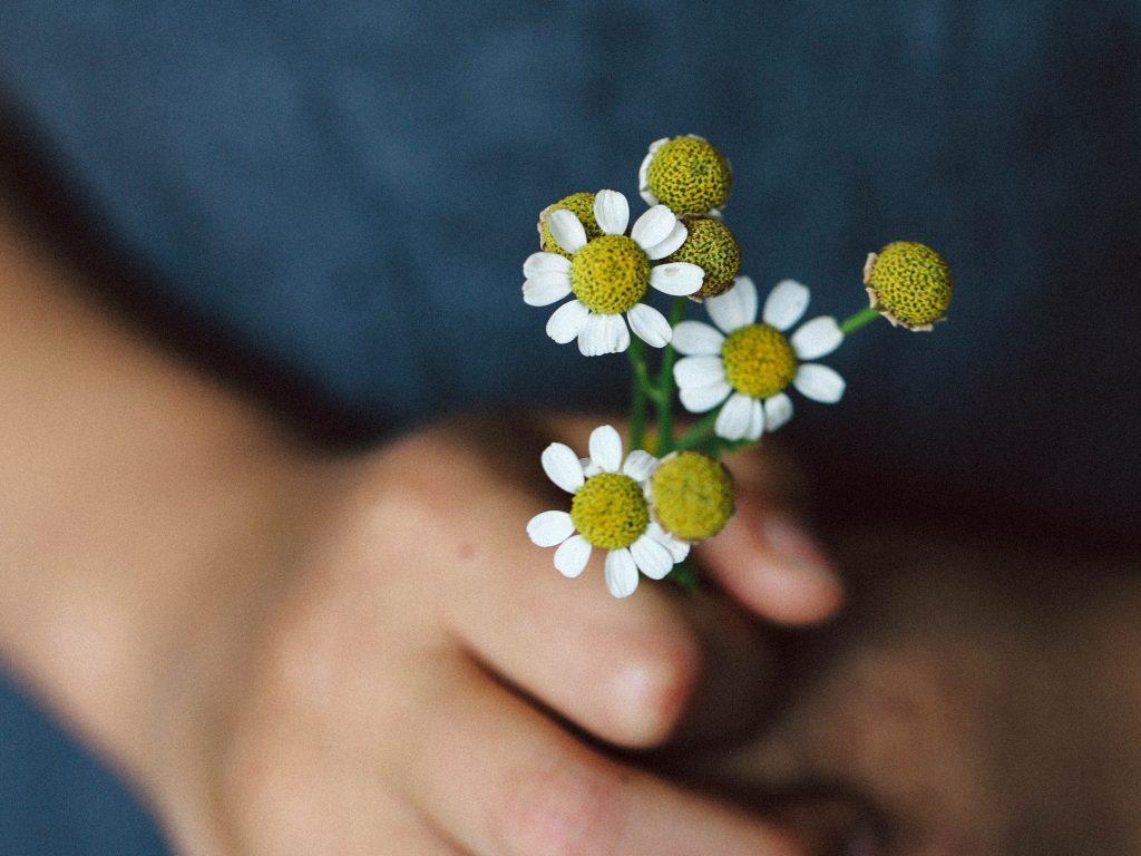 Kinderhände mit Kamille